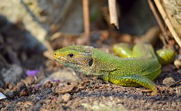 Green lizard closeup. The filfola lizard or Maltese wall lizard (Podarcis filfolensis) is a species of lizard in the Lacertidae family. Its natural habitats are stock image