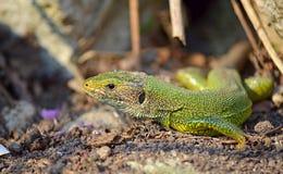 Green lizard closeup Stock Image