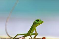 Green lizard. Green common lizard looking for the prey stock photos