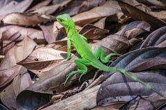 Green lizard in Corcovado, Costa Rica Stock Photo