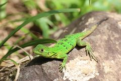 Anole Green lizard, Costa Rica stock photography