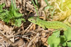 A green lizard crawling on a dry grass close up. Stock Images