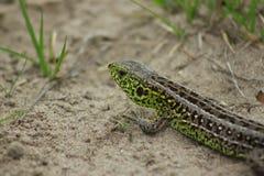 Green lizard Stock Image