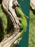 Green lizard on curved branch Stock Photo