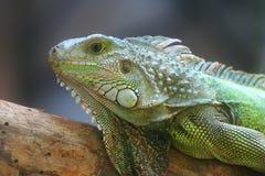 Green Lizard Detail. A Green Lizard Head Detail Royalty Free Stock Photo
