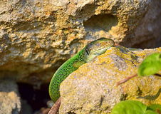 Green lizard doze in the sun. Green lizard doze enjoying the sun.The filfola lizard or Maltese wall lizard (Podarcis filfolensis) is a species of lizard in the royalty free stock images
