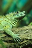 Green lizard (dragon) Royalty Free Stock Photos