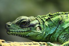 Green lizard (dragon) Stock Photos