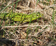 Green lizard in the dry grass Stock Photos