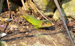 Green lizard. The filfola lizard or Maltese wall lizard (Podarcis filfolensis) is a species of lizard in the Lacertidae family. Its natural habitats are royalty free stock image