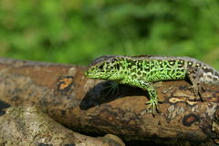 Green lizard in a forest Stock Photography