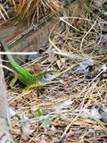 Green lizard in the forest Royalty Free Stock Image