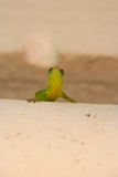 Green lizard. Stock Image