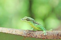 Green lizard. Stock Photos