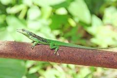 Green lizard. Royalty Free Stock Photo