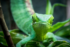 Green Lizard frontal view - Green Lizard on a cage - Berthold`s Bush Anole Polychrus gutturosus royalty free stock photography