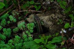 Lizard in a garden royalty free stock photography