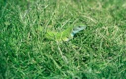 Green lizard in the grass, absorbing the sun's heat Stock Image