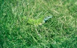 Green lizard in the grass, absorbing the sun's heat. Sunlight Stock Image