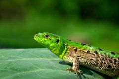 Green lizard in the grass stock image