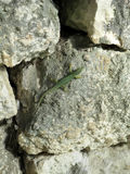 Green lizard on gray stone wall. Vertical view. Stock Photography