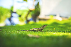 Green Lizard on Green Field Stock Images