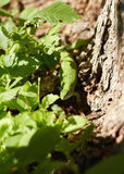 Green lizard in green leaves. In the wood Stock Image