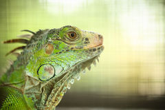 Green Lizard Green Lizard finding food Stock Images