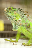 Green Lizard Green Lizard finding food Royalty Free Stock Image
