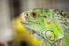 Green Lizard Green Lizard finding food Stock Image