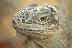 Green Lizard Green Lizard finding food Royalty Free Stock Images