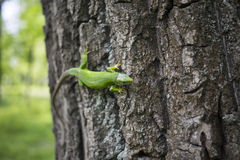 Green lizard - Green lizard with a long tail standing on a piece of wood Stock Images