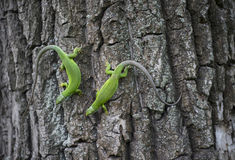 Green lizard - Green lizard with a long tail standing on a piece of wood Royalty Free Stock Photos