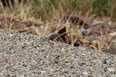 Green lizard. In nature peeking through rocks and vegetation stock image