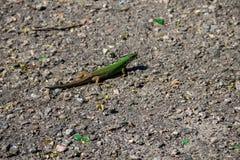 Green lizard on grey asphalt road Stock Photo