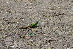 Green lizard on grey asphalt road Royalty Free Stock Photography