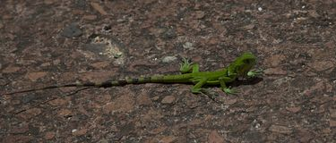 Green lizard on the ground stock photography
