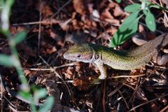 Green lizard on the ground Royalty Free Stock Photography