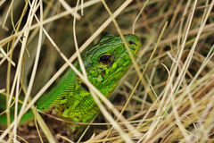 Green lizard in the hay Stock Images