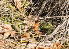 Green lizard hidding Royalty Free Stock Images