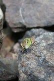 Green lizard hiding behind a rock Royalty Free Stock Photo