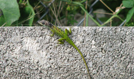 Green Lizard on the hunt Royalty Free Stock Image