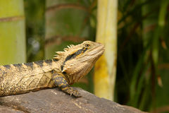 Green lizard iguana sitting on a rock. Eye mouth scales spikes reptile Stock Image