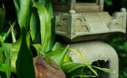 Green Lizard in Japanese Garden Royalty Free Stock Image