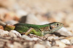 Green lizard, Lacerta Royalty Free Stock Photo