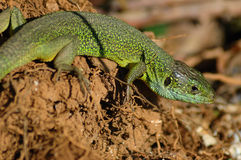 Green lizard (Lacerta bilineata). Basking in the first rays of sun Stock Images