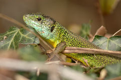 Green lizard (Lacerta bilineata). Resting in the vegetation Stock Image