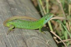 Green lizard (Lacerta bilineata). Sunning itself on a timber Stock Photography