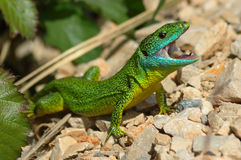 Green lizard (Lacerta bilineata). In a threatening Royalty Free Stock Images