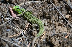 Green lizard Lacerta viridis — a view of lizards of the genus Green lizards. Stock Image